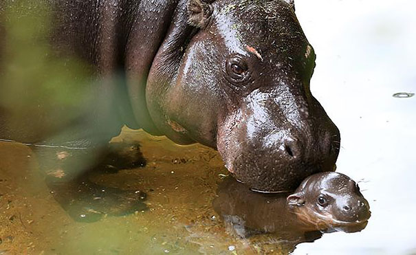 cria-hipopotamo-pigmeo-obi-zoo-melbourne (3)