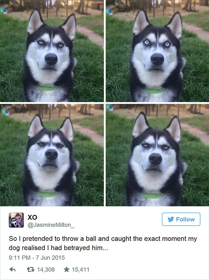 expresion-facial-perro-husky-traicionado-anuko-jasmine-milton (1)