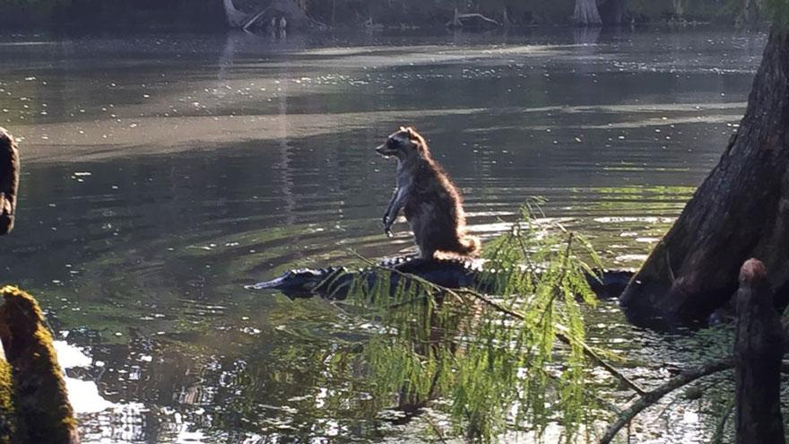 mapache-montando-aligator-richard-jones