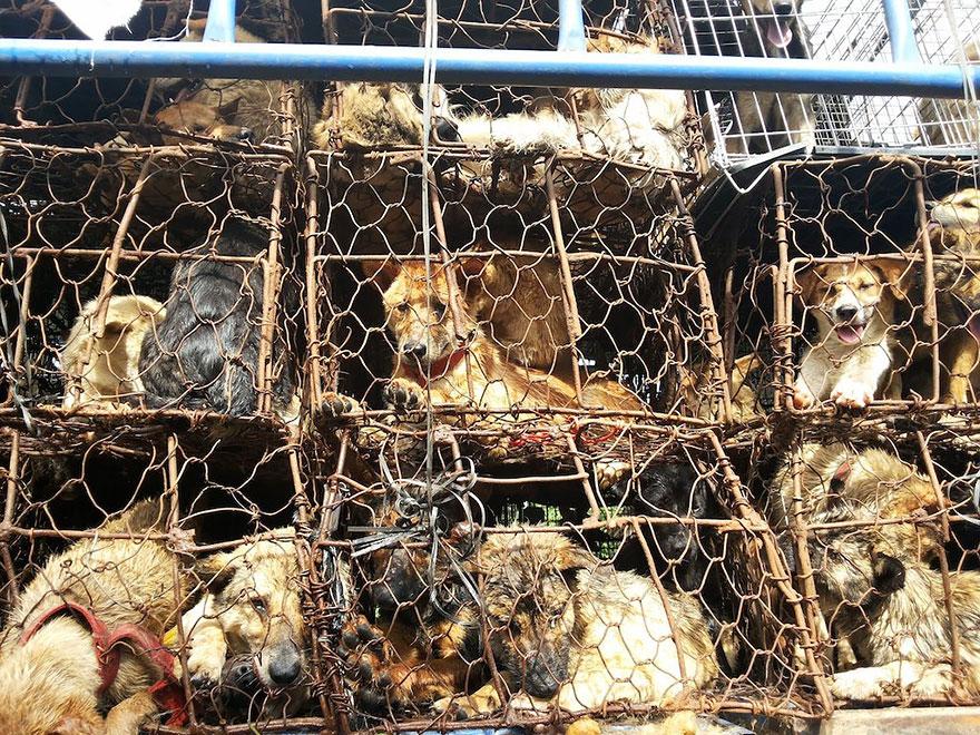 perros-rescatados-festival-yulin-china (19)