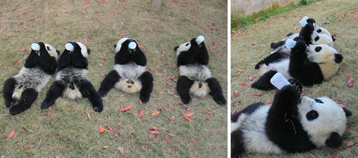 base-investigacion-chengdu-guarderia-osos-panda (15)
