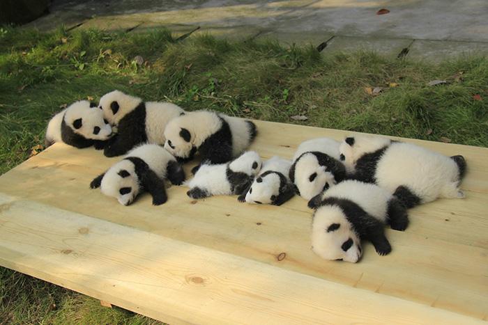 base-investigacion-chengdu-guarderia-osos-panda (8)