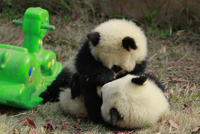 base-investigacion-chengdu-guarderia-osos-panda (9)