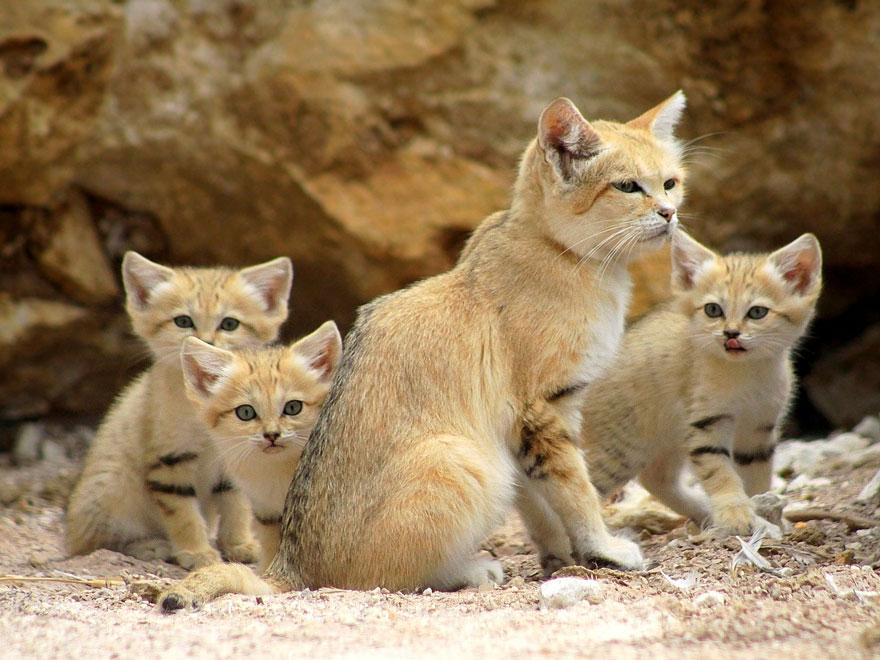 gatos-arenas-desierto-apariencia-gatito (10)