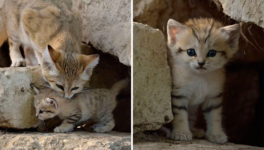 gatos-arenas-desierto-apariencia-gatito (11)