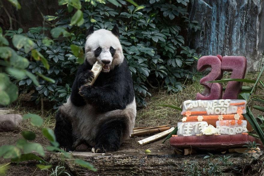 panda-jia-jia-37-anos-record-guinness (2)