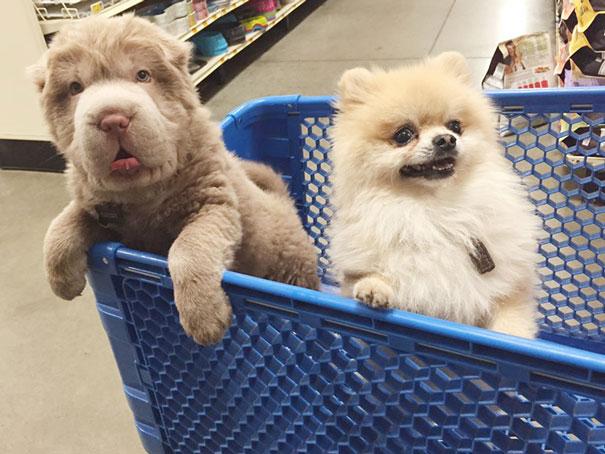 perro-adorable-sharpei-parecido-oso-tonkey (1)