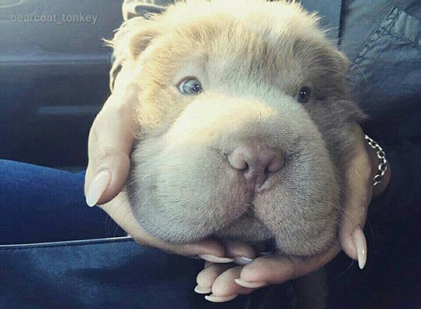perro-adorable-sharpei-parecido-oso-tonkey (10)