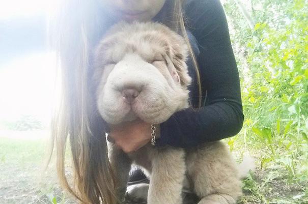perro-adorable-sharpei-parecido-oso-tonkey (9)
