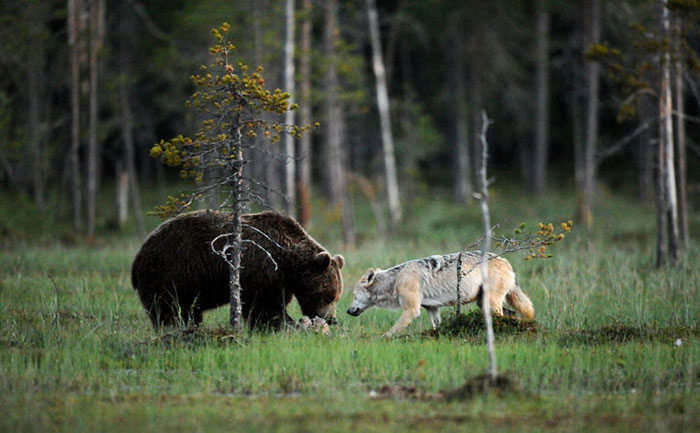 fotos-inusual-amistad-animal-lobo-oso-lassi-rautiainen-finlandia (8)