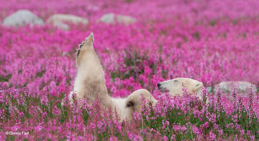 fotos-osos-polares-jugando-flores-dennis-fast (11)