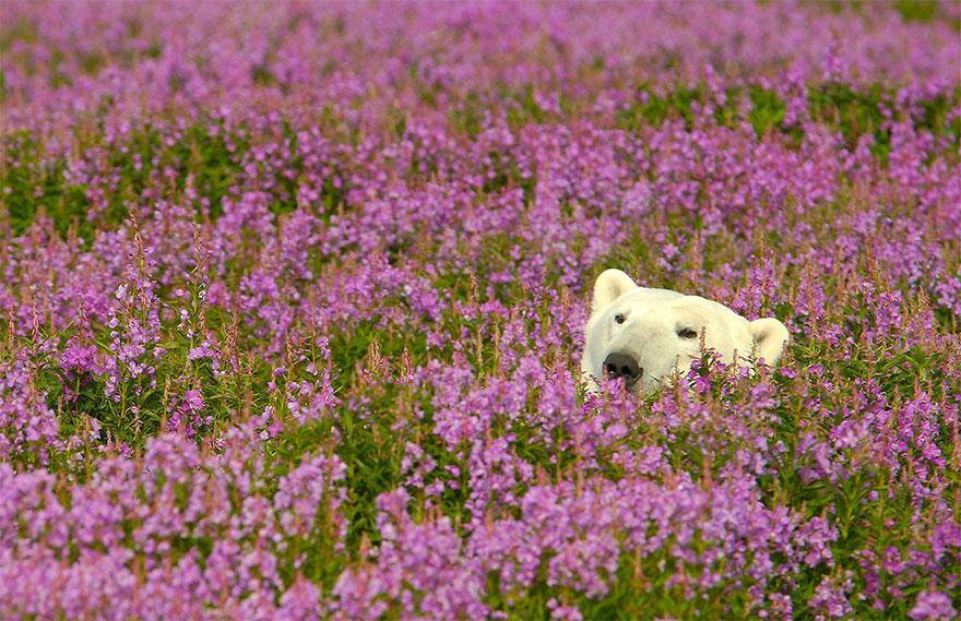 fotos-osos-polares-jugando-flores-dennis-fast (8)