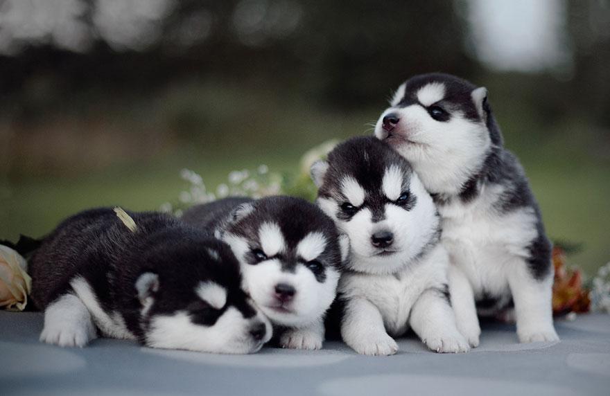 instagram-perros-husky-siberiano-erica-tcogoeva (10)