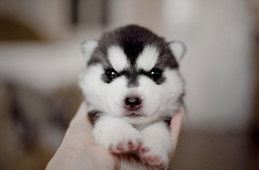 instagram-perros-husky-siberiano-erica-tcogoeva (11)