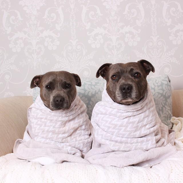 hermanos-perros-bull-terriers-blueboys-instagram (6)