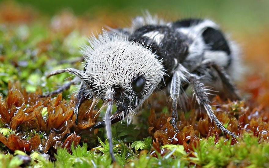 hormiga-panda-euspinolia-militaris (1)