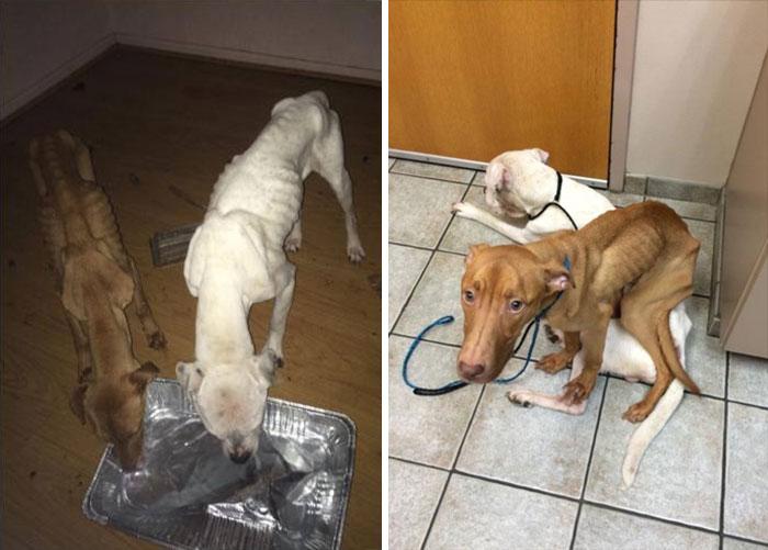 transformacion-perros-desnutridos-rescatados-trio-animal (5)