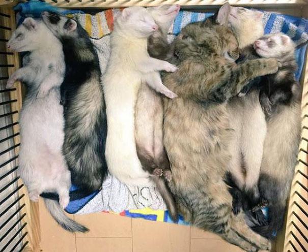 gato-komari-adoptado-familia-hurones (8)