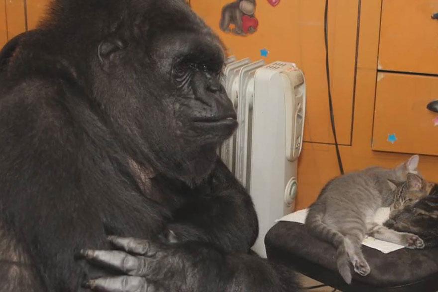 gorila-koko-regalo-cumpleanos-gatos (4)