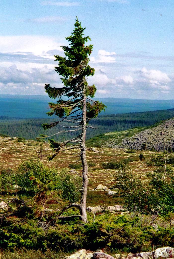 arbol-viejo-tjikko-picea-suecia (5)