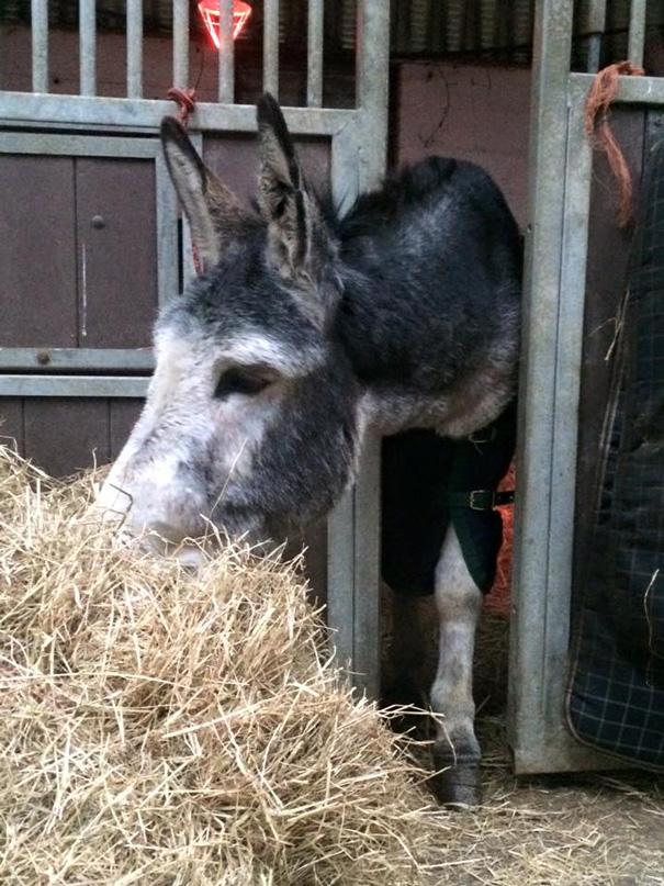 burro-rescatado-riada-sonrisa-irlanda (5)