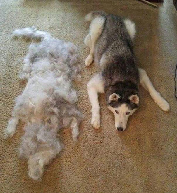 mascotas-soltando-pelo (37)