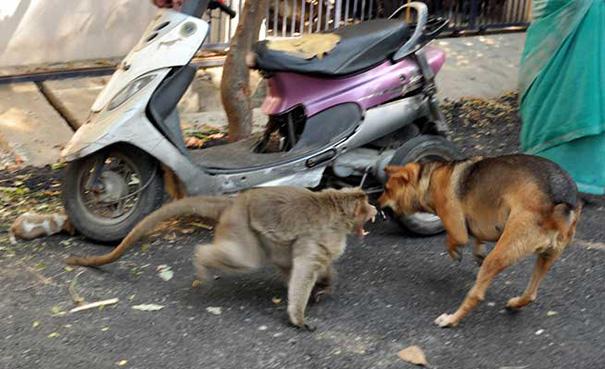 mono-adopta-cachorro-perro-india (7)