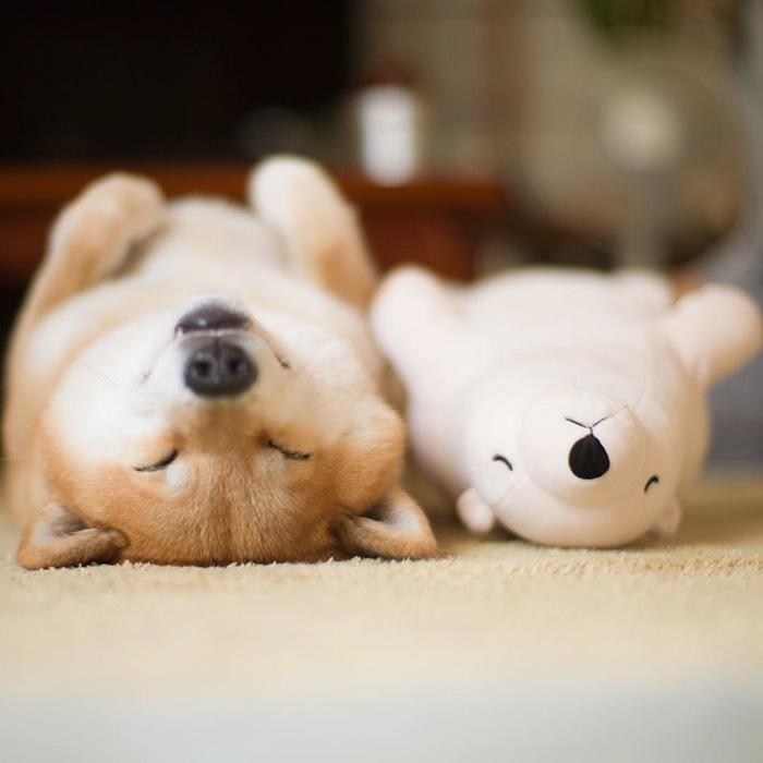 perro-shiba-inu-maru-dormir-igual-oso-peluche (5)