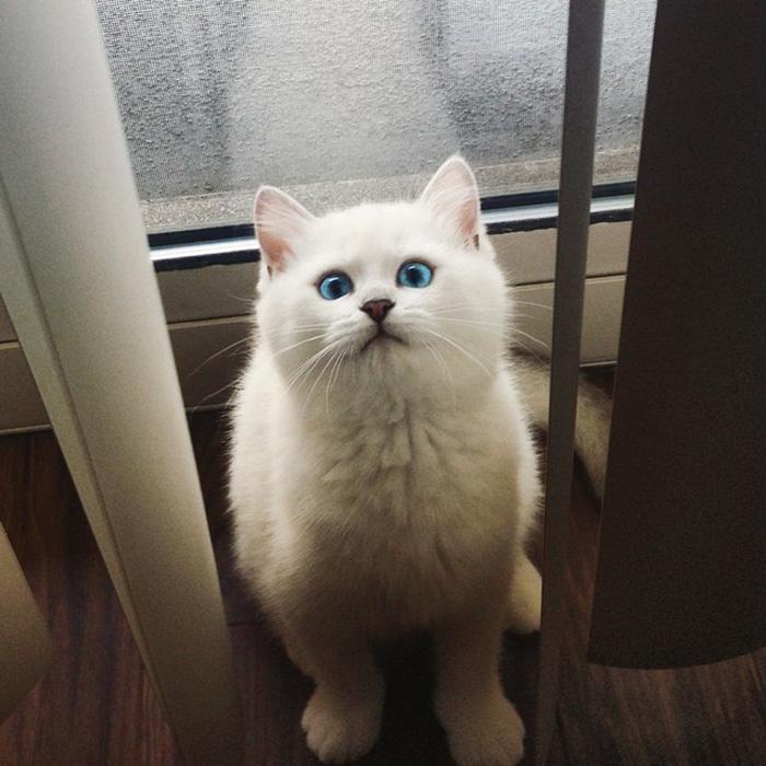 ojos-bonitos-gato-pelicorto-ingles-coby (3)