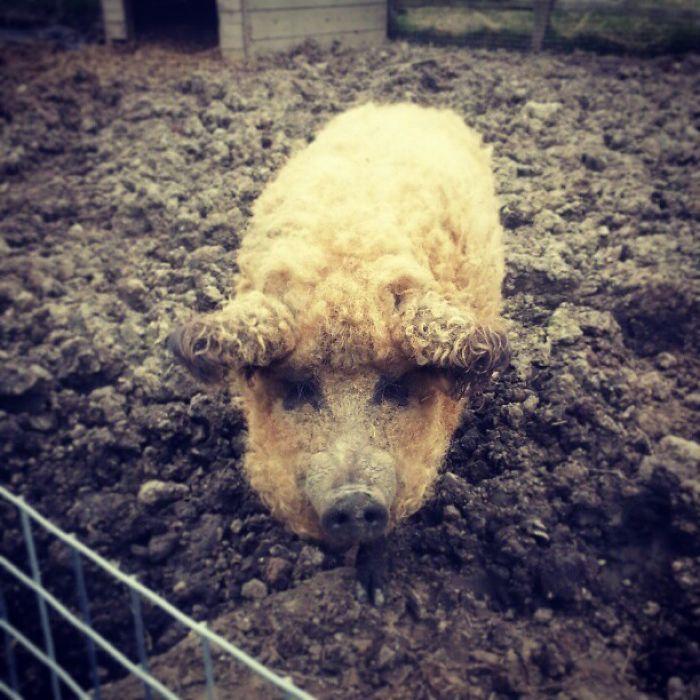 raza-cerdo-lanudo-mangalica (11)