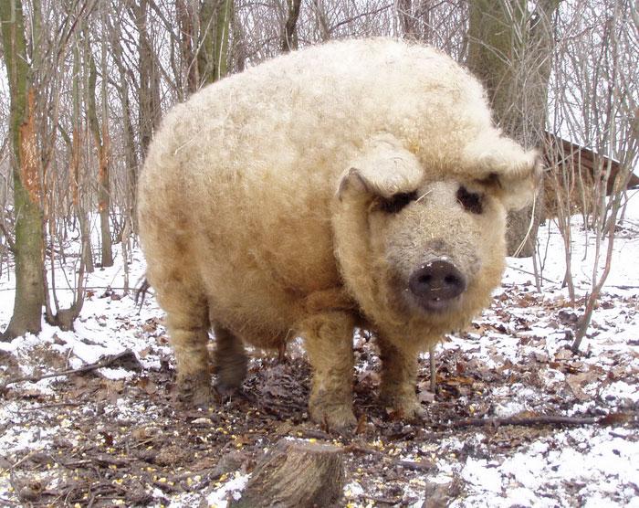 raza-cerdo-lanudo-mangalica (12)