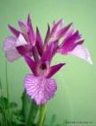 Orchis papilonacea