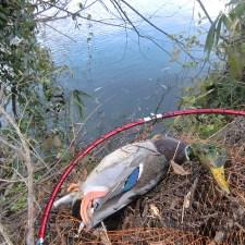 鴨の流し猟は本当に朝イチがベストなのか?もう一度考えてみた。