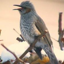 混獲注意!おいしいおいしいヒヨドリと間違えそうな鳥たち