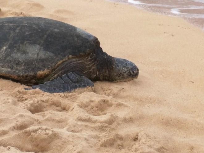 Sea Turtle, Poipu Beach, Koloa, HI