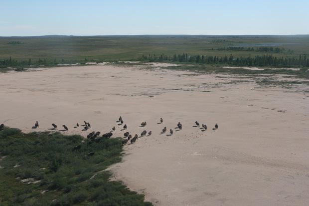 Aus der Luft sahen wir noch eine gewaltige Herde Moschusochsen