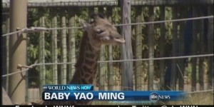 Houston Zoo names newborn giraffe 'baby Yao Ming'