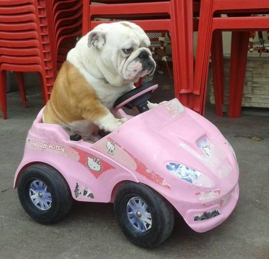 grumpy-bulldog-in-pink-car