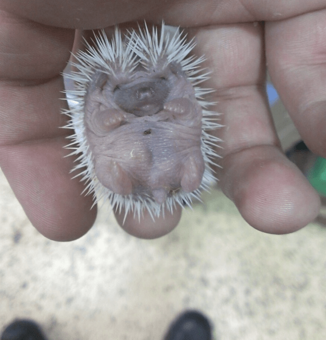 baby-pygmy-hedgehog