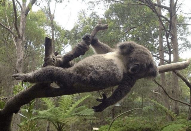 koala-lounging-on-tree