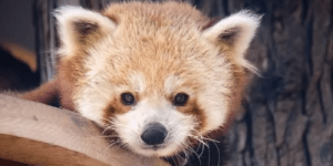 This red panda thinks he's Sonic the Hedgehog