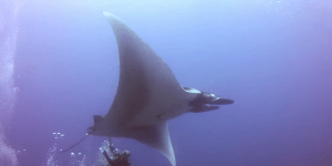 This Giant Manta Ray Was In Serious Trouble, So This Bro Diver Saved His Life