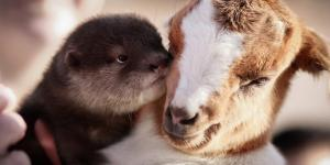 4chan Added Hilarious Porn Comments To Adorable Pictures Of Goats And Why Can't I Stop Laughing?
