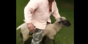Drunk Dude Rides A Sheep, Takes Brutal Shot To The Nuts For His Crimes Against The Animal Kingdom