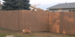 This Little Corgi Has A Fever–And The Only Prescription Is More Squirrel