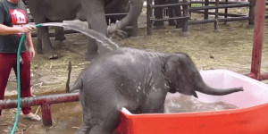 Adorable Baby Elephant Pooping In The Bubble Bath Is A Roller Coaster Of Emotion