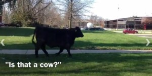 Cow Escapes Agriculture Department At University Of Kentucky, Terrorizes Campus