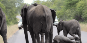 Elephant Calf Rescued By Herd After Collapsing Is A Tidal Wave Of The Feels