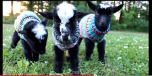 Hey Man, Check Out These Tiny Baby Goats Wearing Little Wool Sweaters Or Something
