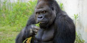 Zoo Attendance Gushes Because Women Flock To See 'Handsome Gorilla'